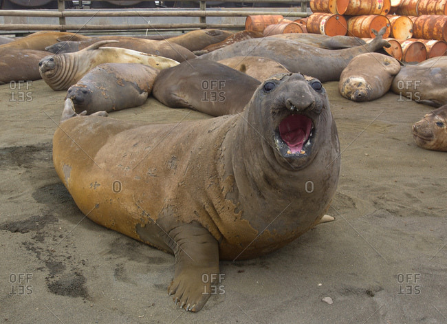 Elephant Seals, north east side of Macquarie Island, Southern Ocean