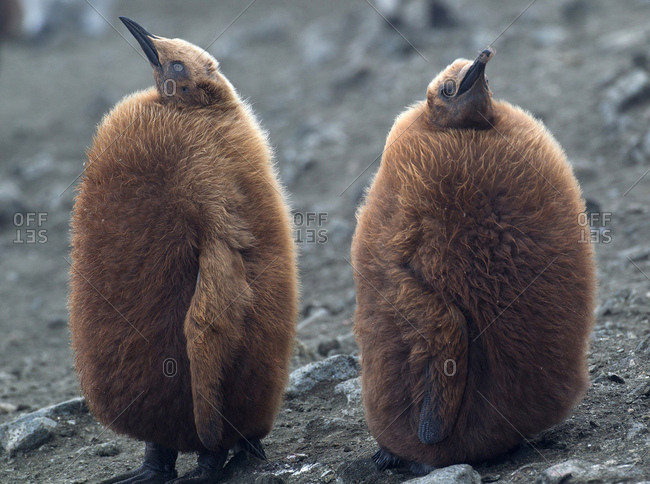 King penguin chicks on beach, along the north east coast of Macquarie Island, Southern Ocean
