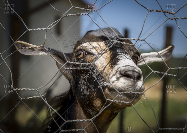 Goat peeking through a fence