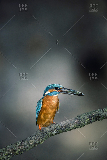 Common kingfisher with fish in beak perched on branch.