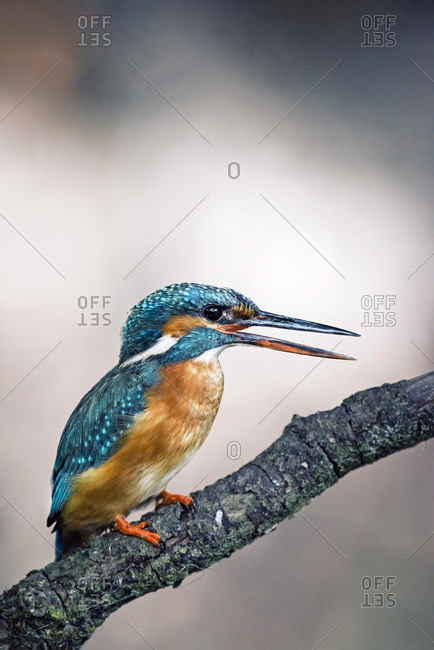 Calling common kingfisher perched on branch.