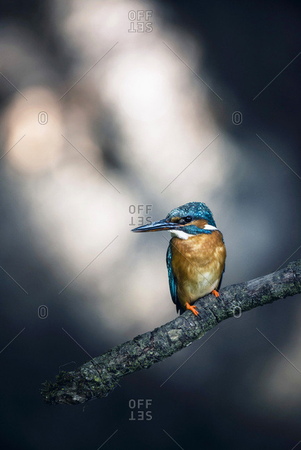 Common kingfisher perched on branch looking sideways.