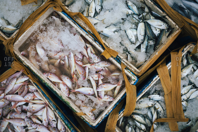 Small fish being transported from the sea at Kedonganan Fish Market in Bali, Indonesia.