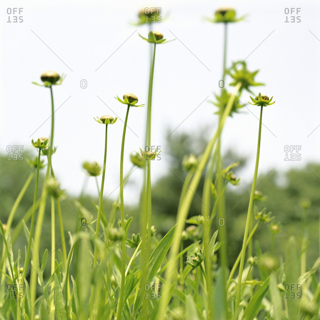 Low angle view of dahlia flower buds