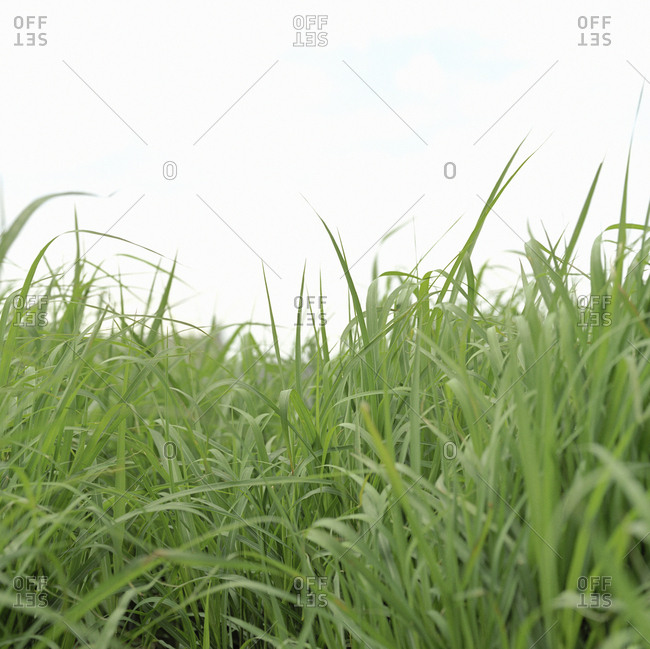 Low angle view of blades of green grass