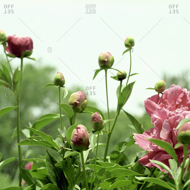Close-up of pink peony flowers in garden