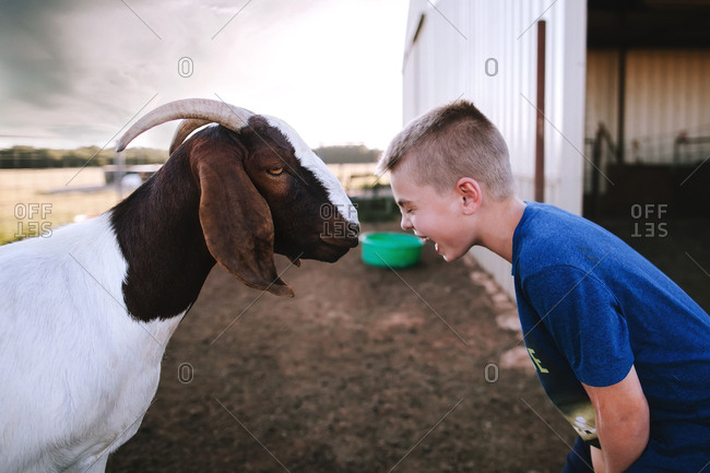 A boy laughing at a goat