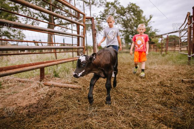 Boys walking a calf out of a pen.