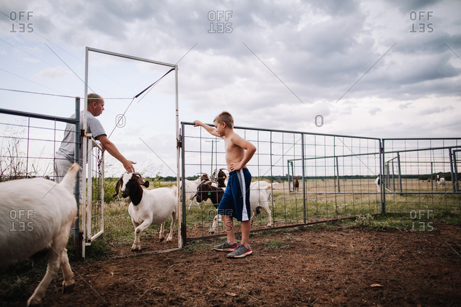 Boy and man letting goats into a pen