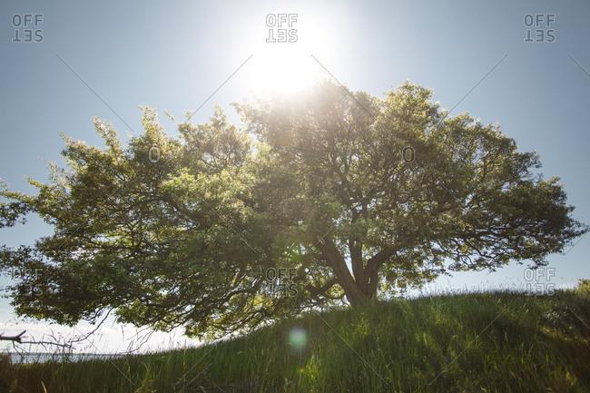 Hawthorn shrub in back light