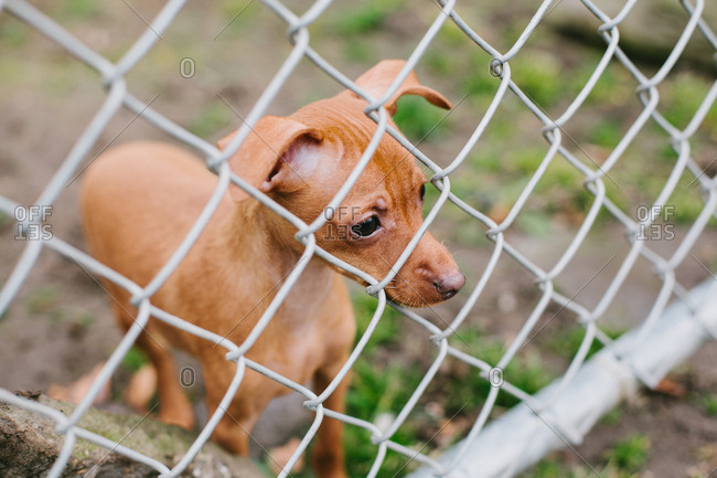 Brown min pin looking through a fence
