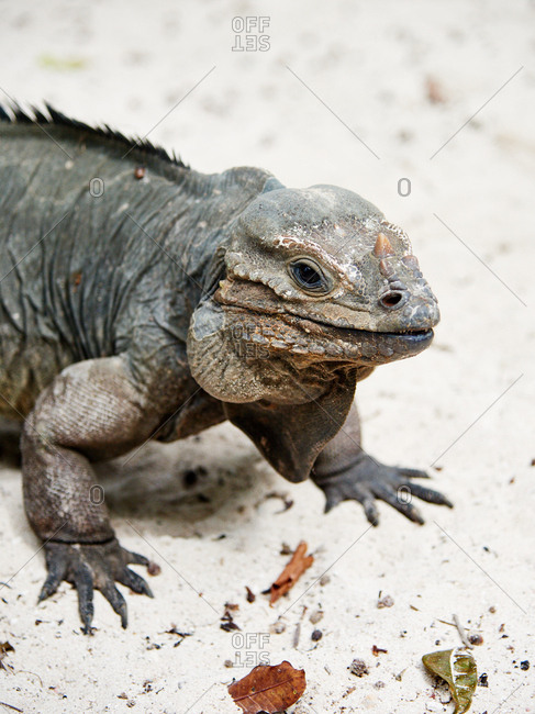 A large lizard standing in sand