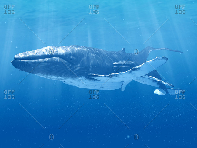 Whale swimming underwater, illustration