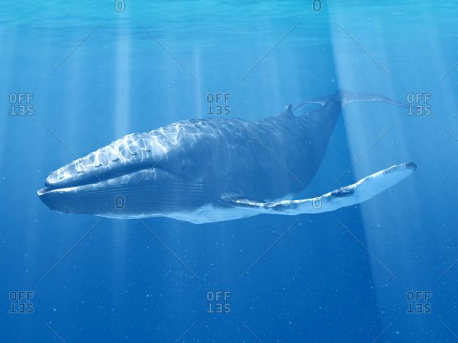 Whale swimming underwater, illustration