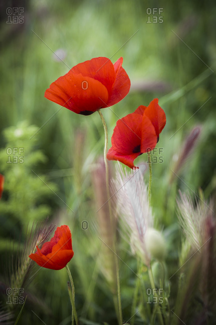 Poppy flowers in the south of France in spring time