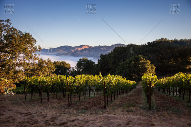 Rows of grape vines overlooking a fog-filled valley