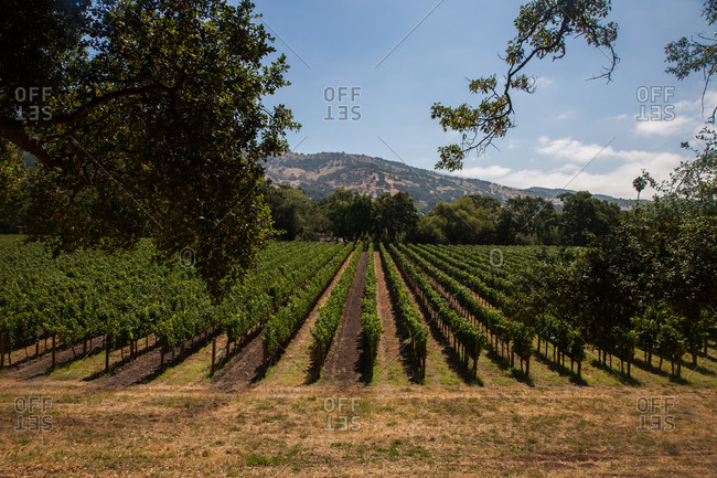 Grapes in vineyard in Sonoma, California