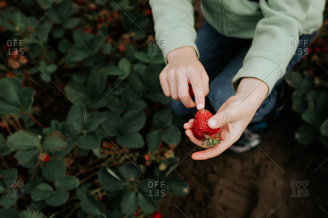 Child's hand holding a freshly picked strawberry