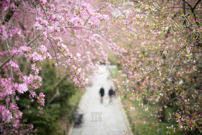 Trees blooming pink flowers in spring in Central Park in New York City