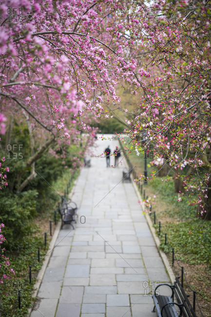 Trees and bushes bloom pink flowers in spring in Central Park in New York City
