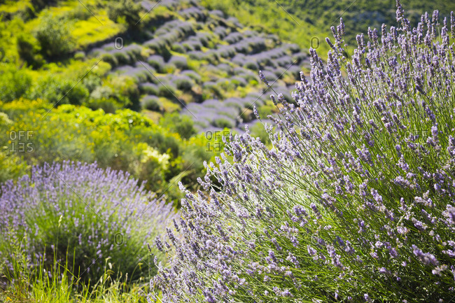 The lavender fields on the high plains on the island of Hvar in Croatia