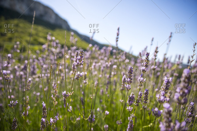 Close up of lavender in fields on the high plains on the island of Hvar in Croatia