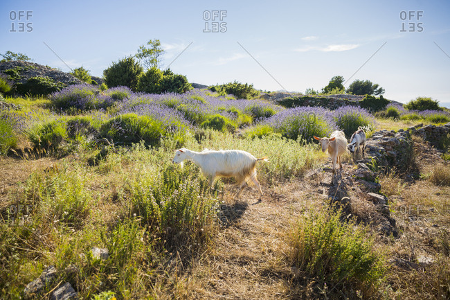 Goats on a path by lavender fields on the island of Hvar in Croatia