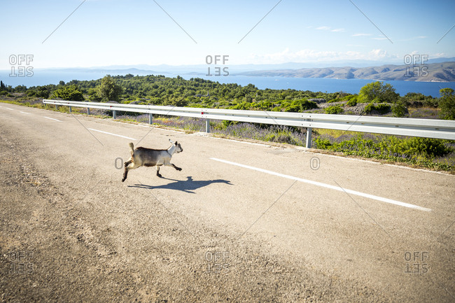 Goat crossing the road on the island of Hvar in Croatia