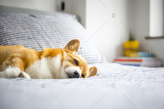 A corgi relaxing and sleeping on a bed