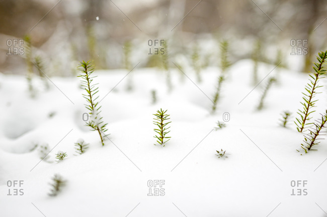 Snow covers a green pine bush in Central Park in New York City, New York