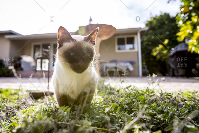 Siamese cat resting in grass