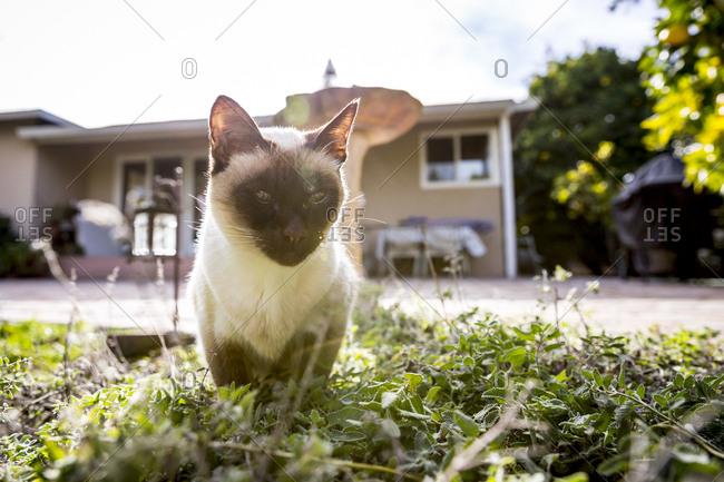 Siamese cat resting in grass