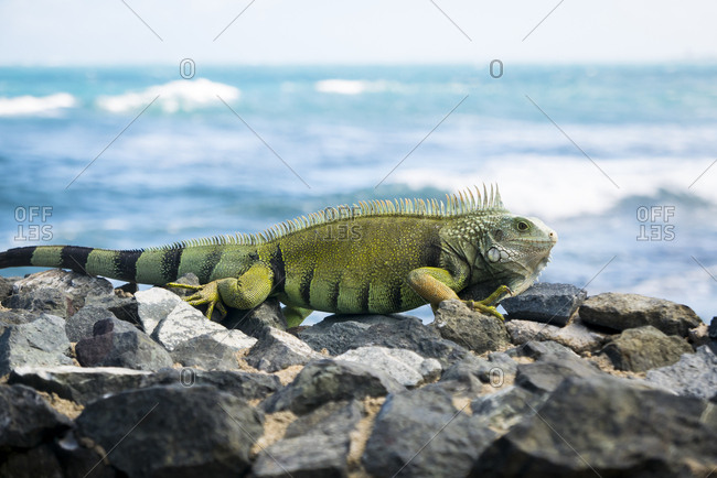 An iguana by sea in Puerto Rico