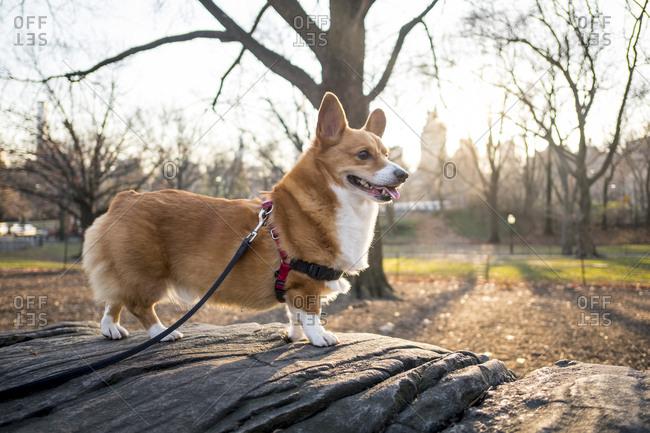 Corgi on rock in Central Park