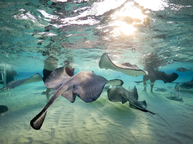 Sting rays feeding in ocean off Grand Cayman