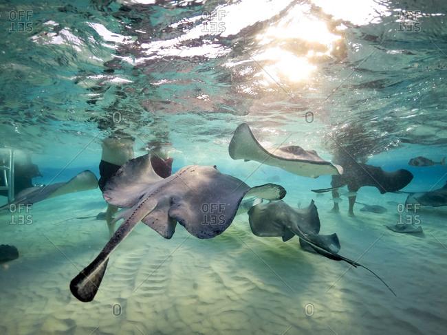 Sting rays feeding in ocean off Grand Cayman