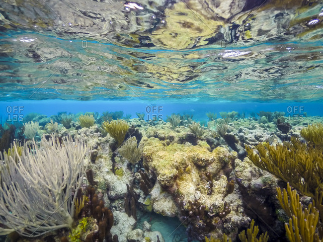 Coral growing underwater in Grand Cayman
