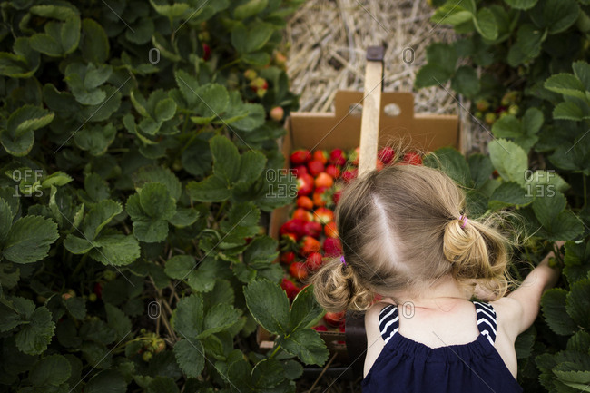 Overhead view of girl picking strawberries at farm