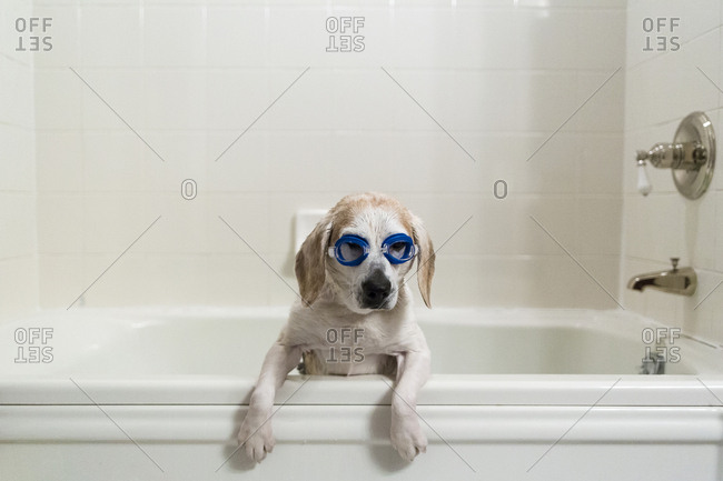 Dog wearing swimming goggles in bathtub at home