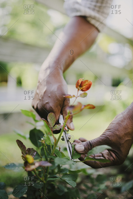 Cropped hands of woman cutting leaf with pruning shears in garden