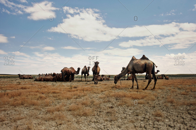 Camels at arid landscape against sky during sunny day