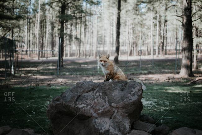 Fox sitting on rock at forest