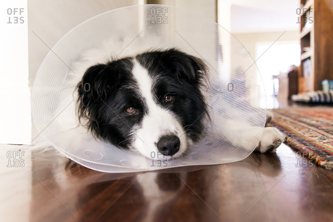Portrait of Border Collie wearing cone collar while relaxing on floor at home