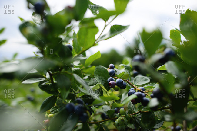 Close-up of blueberries growing on tree at farm