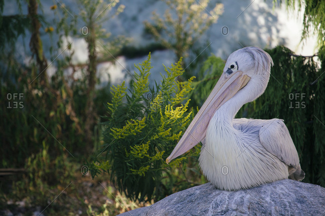 Pelican sitting on a rock