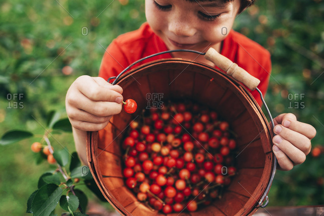 Young boy harvesting cherries from a cherry tree