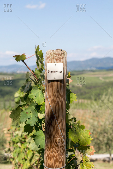 Close up of vine in Tuscan countryside farm