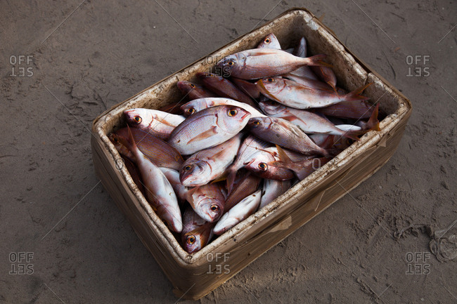 Bunch of fresh caught fish in an insulated box on a beach