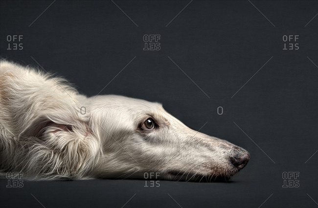 Portrait of dog laying on floor