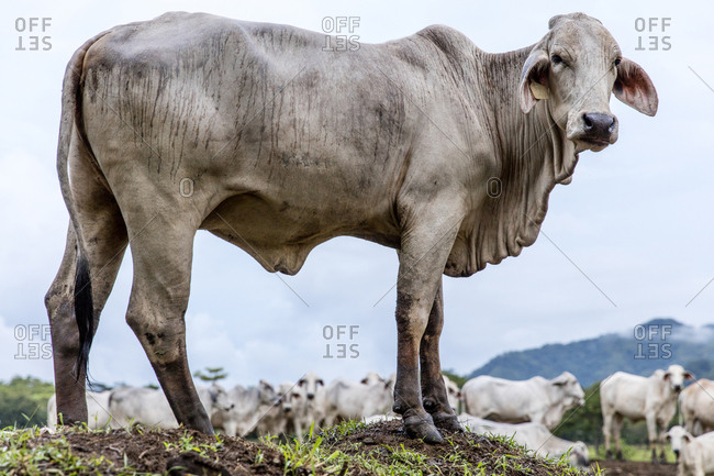 Cow standing on hill